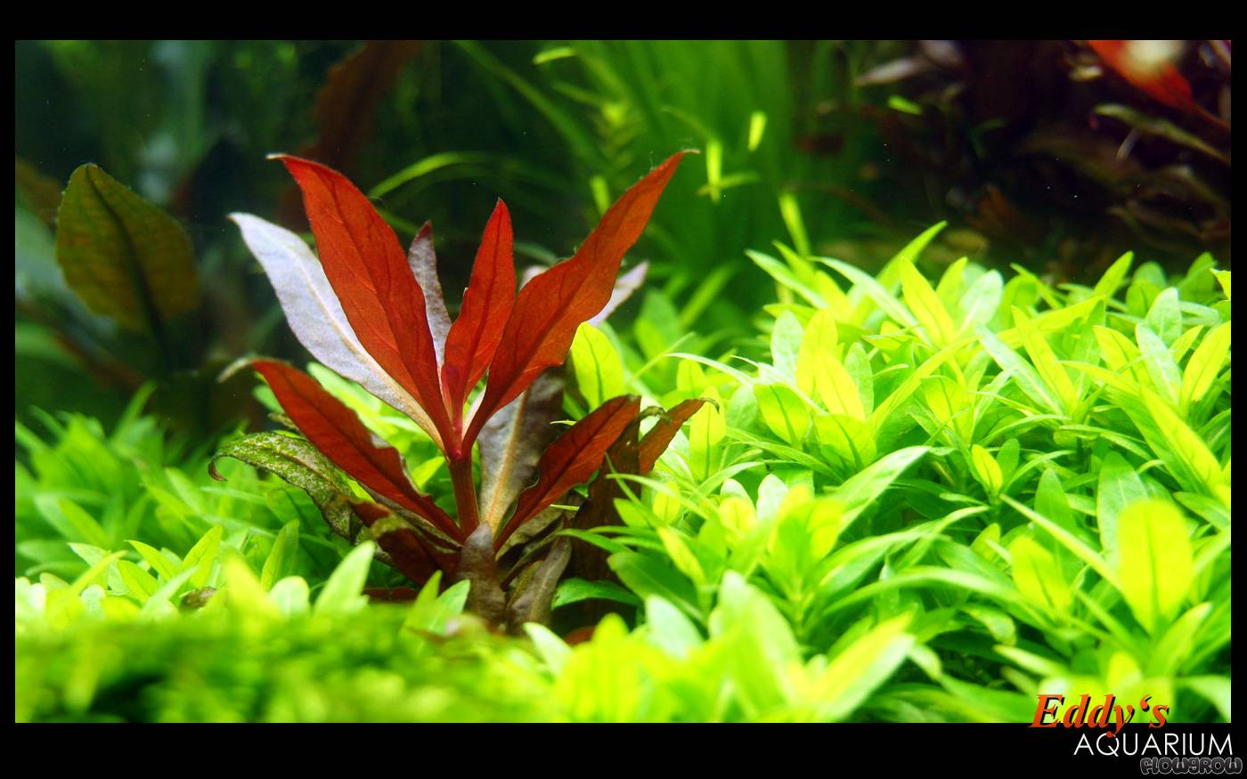alternanthera reineckii rosaefolia rosabl ttriges papageienblatt flowgrow wasserpflanzen. Black Bedroom Furniture Sets. Home Design Ideas