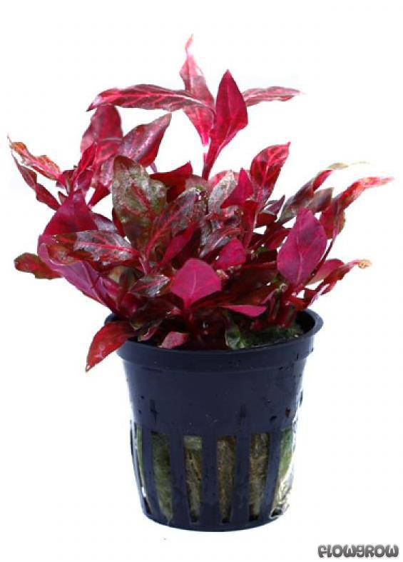 alternanthera reineckii 39 rosanervig 39 rosanerviges papageienblatt flowgrow wasserpflanzen. Black Bedroom Furniture Sets. Home Design Ideas