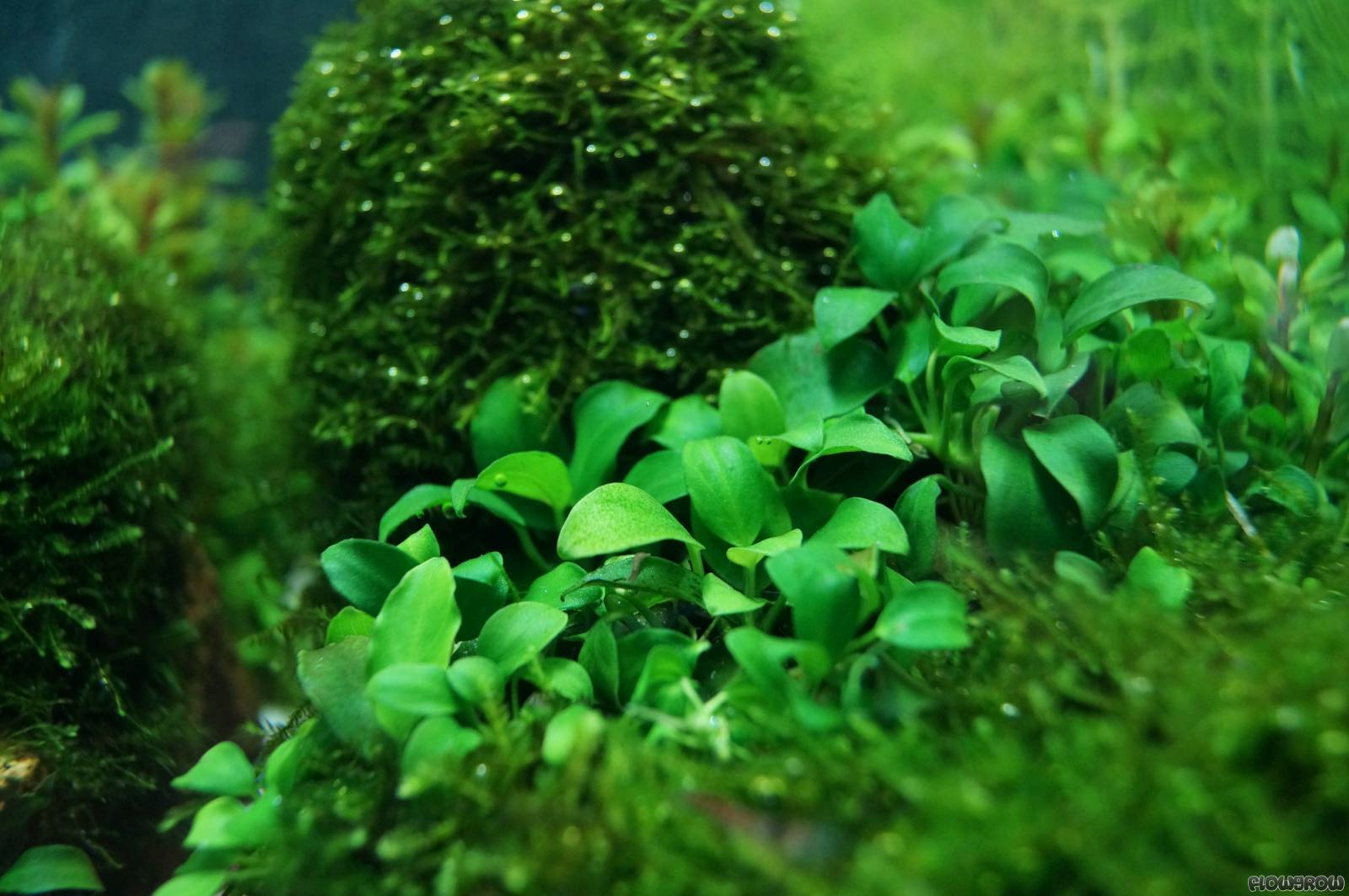 anubias barteri var nana 39 petite 39 39 bonsai 39 images frompo. Black Bedroom Furniture Sets. Home Design Ideas