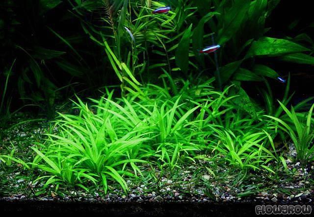 Helanthium Bolivianum Quot Latifolius Quot Breitbl 228 Ttrige Zwergschwertpflanze Flowgrow