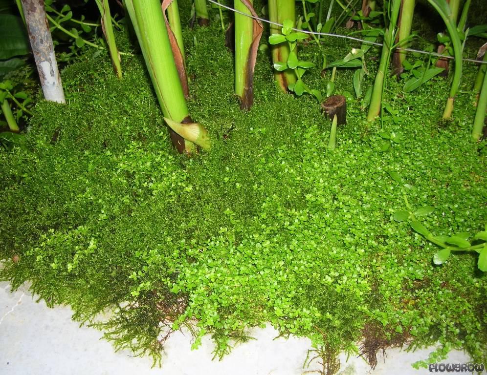 "Hemianthus sp. ""Amano Pearl Grass"" - Smaragd-Perlenkraut ..."