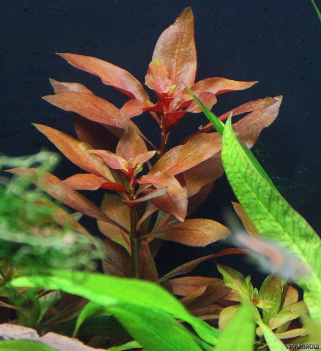ludwigia rubin rubin ludwigie flowgrow wasserpflanzen datenbank. Black Bedroom Furniture Sets. Home Design Ideas