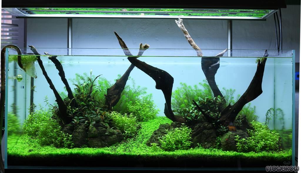 Micranthemum Tweediei Tweedies Perlenkraut Flowgrow