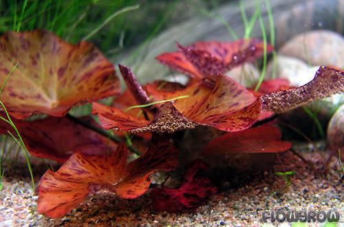 Nymphaea Lotus Rot Roter Tigerlotus Flowgrow Wasserpflanzen Datenbank