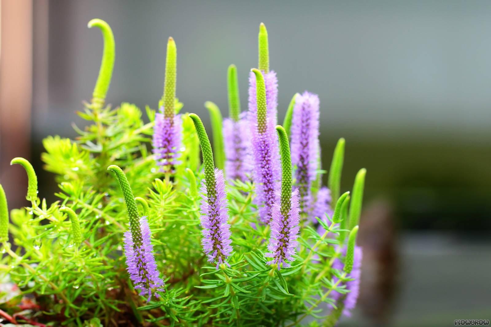 Pogostemon Erectus Indische Sternpflanze Flowgrow Wasserpflanzen Datenbank