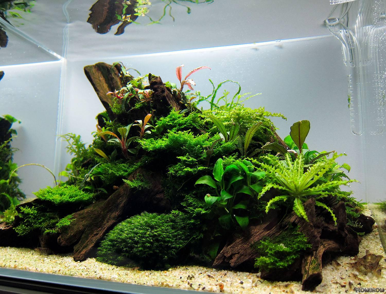 pogostemon helferi daonoi flowgrow wasserpflanzen datenbank. Black Bedroom Furniture Sets. Home Design Ideas