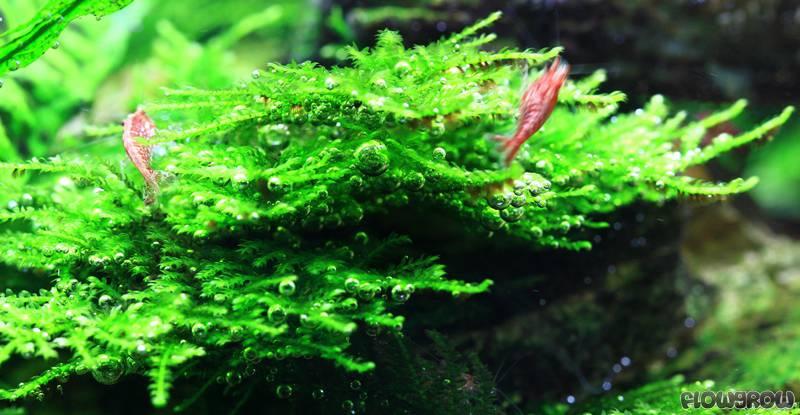 Vesicularia Sp Quot Mini Christmas Moss Quot Flowgrow