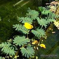 Aeschynomene fluitans - Flutende Schampflanze - Flowgrow Wasserpflanzen-Datenbank