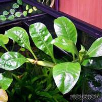 Alternanthera aquatica - Schwimmendes Papageienblatt - Flowgrow Wasserpflanzen-Datenbank