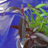 Alternanthera sessilis - Sitzendes Papageienblatt - Flowgrow Wasserpflanzen-Datenbank