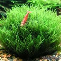 Amblystegium serpens - Kriechendes Stumpfdeckelmoos - Flowgrow Wasserpflanzen-Datenbank