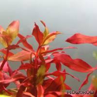 Ammannia praetermissa - Rotgrüne Nesaea - Flowgrow Wasserpflanzen-Datenbank