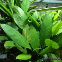 Anubias afzelii - Afzelius' Speerblatt - Flowgrow Wasserpflanzen-Datenbank