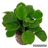 Anubias barteri 'Round Leaf' - Rundblättriges Speerblatt - Flowgrow Wasserpflanzen-Datenbank