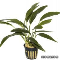 Anubias barteri var. angustifolia - Schmalblättriges Speerblatt - Flowgrow Wasserpflanzen-Datenbank