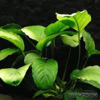 Anubias barteri var. barteri - Breitblättriges Speerblatt - Flowgrow Wasserpflanzen-Datenbank