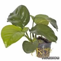 Anubias barteri var. caladiifolia - Caladium-blättriges Speerblatt - Flowgrow Wasserpflanzen-Datenbank