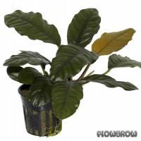 Anubias barteri var. coffeifolia - Kaffeeblättriges Speerblatt - Flowgrow Wasserpflanzen-Datenbank