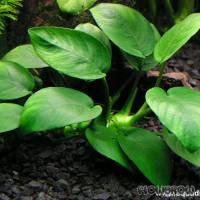 Anubias barteri var. nana - Zwergspeerblatt - Flowgrow Wasserpflanzen-Datenbank