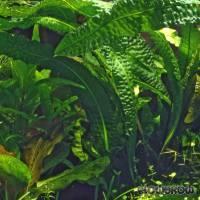 Aponogeton boivinianus - Boivins Wasserähre - Flowgrow Wasserpflanzen-Datenbank