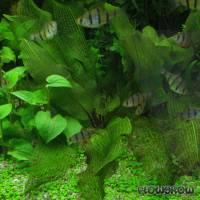 Aponogeton madagascariensis - Madagaskar-Gitterpflanze - Flowgrow Wasserpflanzen-Datenbank
