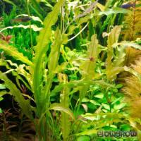 Aponogeton undulatus - Gewellte Wasserähre - Flowgrow Wasserpflanzen-Datenbank
