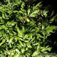 "Bolbitis heteroclita ""cuspidata"" - Flowgrow Wasserpflanzen-Datenbank"