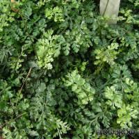 "Bolbitis heteroclita ""difformis"" - Mini-Bolbitis - Flowgrow Wasserpflanzen-Datenbank"
