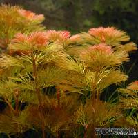 Cabomba furcata - Gegabelte Haarnixe - Flowgrow Wasserpflanzen-Datenbank