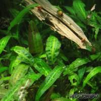 Cryptocoryne affinis - Härtels Wasserkelch - Flowgrow Wasserpflanzen-Datenbank