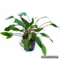 """Cryptocoryne beckettii """"Viridifolia"""" - Becketts Wasserkelch, grünblättrig - Flowgrow Wasserpflanzen-Datenbank"""