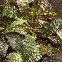 Cryptocoryne bullosa - Flowgrow Wasserpflanzen-Datenbank
