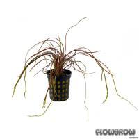 Cryptocoryne crispatula var. kubotae - Kubotas Wasserkelch - Flowgrow Wasserpflanzen-Datenbank
