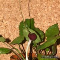 Cryptocoryne longicauda - Langgeschwänzter Wasserkelch - Flowgrow Wasserpflanzen-Datenbank