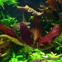Echinodorus 'Dark Beauty' - Flowgrow Wasserpflanzen-Datenbank