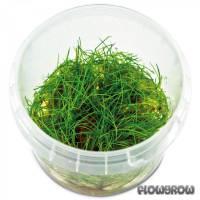 "Eleocharis sp. ""Minima"" - Minima-Nadelsimse - Flowgrow Wasserpflanzen-Datenbank"