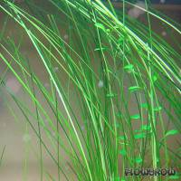 "Eleocharis sp. ""Xingu"" - Riesen-Nadelsimse - Flowgrow Wasserpflanzen-Datenbank"