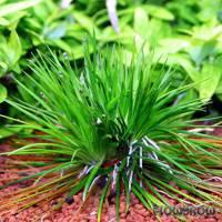 Eriocaulon cinereum - Flowgrow Wasserpflanzen-Datenbank