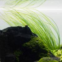 """Eriocaulon sp. """"Japan Needle Leaf"""" - Flowgrow Wasserpflanzen-Datenbank"""