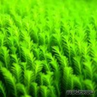 Fissidens crispulus - Gekräuseltes Spaltzahnmoos - Flowgrow Wasserpflanzen-Datenbank