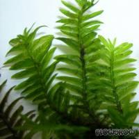 Fissidens nobilis - Flowgrow Wasserpflanzen-Datenbank