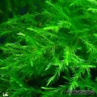 Fontinalis hypnoides - Schlafmoos-ähnliches Quellmoos - Flowgrow Wasserpflanzen-Datenbank