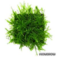Hydropogonella gymnostoma - Queen moss - Flowgrow Wasserpflanzen-Datenbank