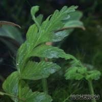 Hymenasplenium obscurum - Dunkler Streifenfarn - Flowgrow Wasserpflanzen-Datenbank