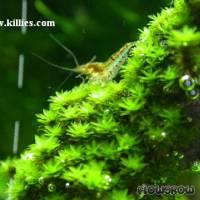 Hyophila involuta - Zementmoos - Flowgrow Wasserpflanzen-Datenbank