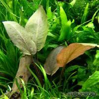 "Lagenandra meeboldii ""Rot"" (""Red"") - Meebolds Lagenandra (rote Form) - Flowgrow Wasserpflanzen-Datenbank"