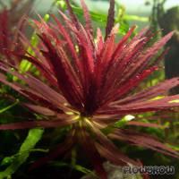 Limnophila hippuridoides - Tannenwedelähnlicher Sumpffreund - Flowgrow Wasserpflanzen-Datenbank