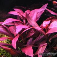 Ludwigia glandulosa - Rote Sternludwigie - Flowgrow Wasserpflanzen-Datenbank