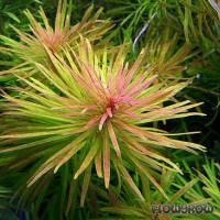 Ludwigia inclinata var. verticillata 'Cuba' - Kuba-Ludwigie - Flowgrow Wasserpflanzen-Datenbank