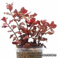 Ludwigia ovalis 'Pink' - Flowgrow Wasserpflanzen-Datenbank